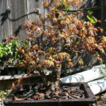 japanese-maple-arakawa-bonsai-9