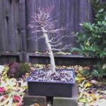 trident-maple-bonsai-1