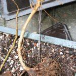 trident-maple-bonsai-15