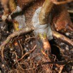 trident-maple-bonsai-19