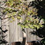 trident-maple-bonsai-2