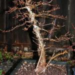 trident-maple-bonsai-20