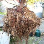 trident-maple-bonsai-22