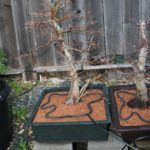 trident-maple-bonsai-24