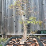 trident-maple-bonsai-25