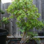 trident-maple-bonsai-26