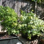 trident-maple-bonsai-27