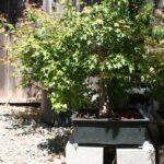 trident-maple-bonsai-29