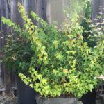 trident-maple-bonsai-30