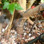 trident-maple-bonsai-31