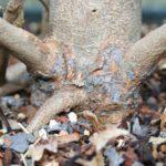 trident-maple-bonsai-32