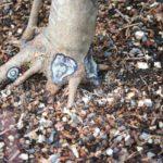 trident-maple-bonsai-33