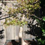 trident-maple-bonsai-35