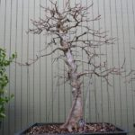 trident-maple-bonsai-36