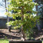 trident-maple-bonsai-37