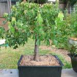 trident-maple-bonsai-38