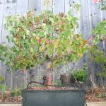 trident-maple-bonsai-39