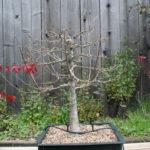 trident-maple-bonsai-40