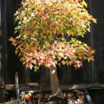trident-maple-bonsai-5