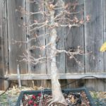 trident-maple-bonsai-6