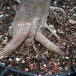 trident-maple-bonsai-8