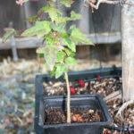 trident-maple-bonsai-9