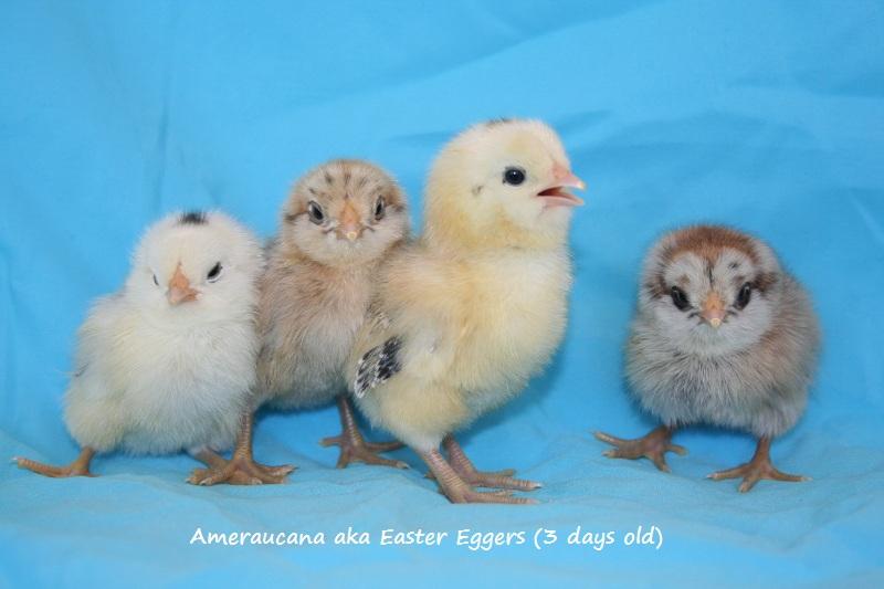 Easter egger bantam chickens - photo#27
