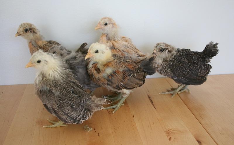 Easter egger bantam chickens - photo#11