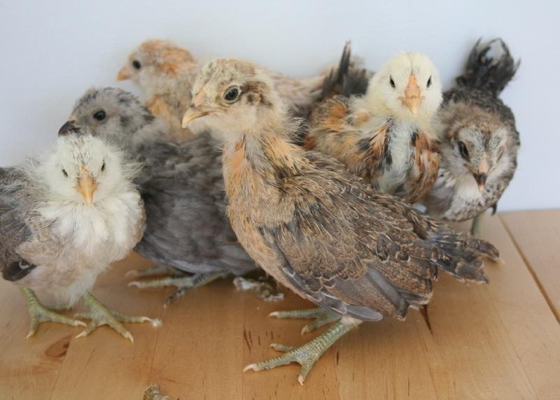 Easter Egger Ba... Easter Egger Chick