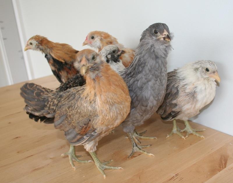 Easter egger bantam chickens - photo#1
