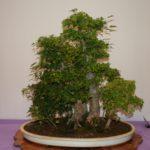rebs-bonsai-show-21011-02