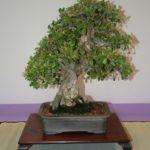 rebs-bonsai-show-21011-05