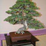 rebs-bonsai-show-21011-06