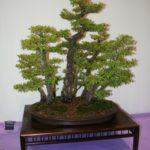 rebs-bonsai-show-21011-12