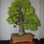 rebs-bonsai-show-21011-14