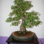 rebs-bonsai-show-21011-16