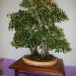 rebs-bonsai-show-21011-27