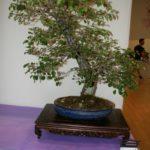 rebs-bonsai-show-21011-29