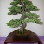 rebs-bonsai-show-21011-32