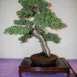 rebs-bonsai-show-21011-34
