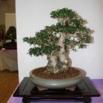 rebs-bonsai-show-21011-39