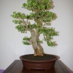 rebs-bonsai-show-21011-48