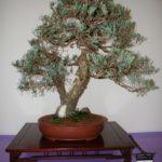 rebs-bonsai-show-21011-50