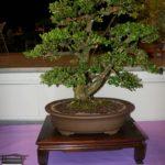 rebs-bonsai-show-21011-57