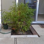 ficus-in-ground-1