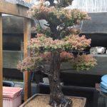 cryptomeria-japonica-repot-9