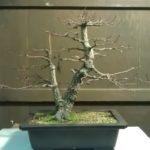 arakawa-bonsai-repot-1