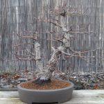 arakawa-bonsai-repot-10