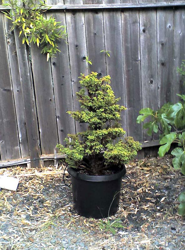 Terrific Cryptomeria Japonica Bonsai Japanese Red Cedar Marin Homestead Wiring Digital Resources Funapmognl