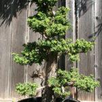 19-cryptomeria-japonica